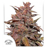 AUTO CBD BLACKBERRY KUSH * DUTCH PASSION FEMINIZED