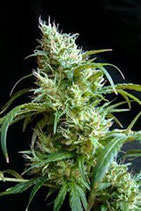 FLASH BACK # 2 * SWEET SEEDS FEMINIZED