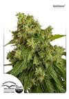 AUTOXTREME * DUTCH PASSION FEMINIZED  FEM