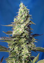 GREEN POISON XL AUTO ® * SWEET SEEDS FEMINIZED