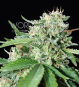 BRAZIL AMAZONIA * WORLD OF SEEDS FEM