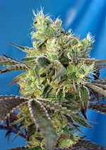 DO-SWEET-DOS ® * SWEET SEEDS FEMINIZED