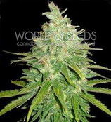 AFGHAN KUSH X BLACK DOMINA * WORLD OF SEEDS FEM