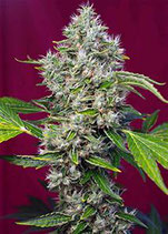 SAN FERNANDO LEMON KUSH® * SWEET SEEDS  FEM