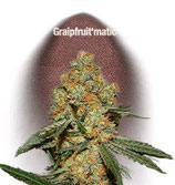 GRAPEFRUIT MATIC * FAST BUDS SEEDS