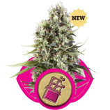CHOCOLATE HAZE - ROYAL QUEEN SEEDS - FEMMINIZZATA
