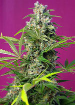 GORILLA GIRL® * SWEET SEEDS FEMINIZED