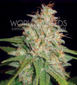 MAZAR X WHITE RHINO * WORLD OF SEEDS  FEM