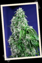 BIG DEVIL F1 FAST VERSION * SWEET SEEDS FEMINIZED