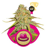 O.G.KUSH - ROYAL QUEEN SEEDS - FEMMINIZZATA