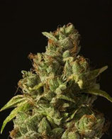 ROLLEX OG KUSH REGULAR * DEVIL'S HARVEST SEEDS  REG