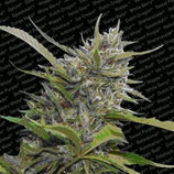 AUTO WHITE BERRY * PARADISE SEEDS FEMINIZED