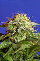 GREEN POISON * SWEET SEEDS FEMINIZED