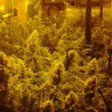 CBD MIX* CBD- CREW SEEDS FEM