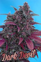 AUTO DARK DEVIL * SWEET SEEDS RED FAMILY FEMINIZED