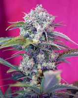 CREAM MANDARINE AUTO * SWEET SEEDS FEMINIZED