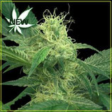 KINGS KUSH * GREEN HOUSE FEMMINIZZATA