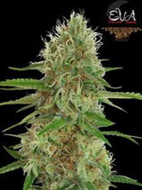 JAMAICAN DREAM  EVA SEEDS FEMMINIZZATA