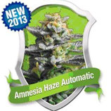 AMNESIA HAZE AUTOMATIC * ROYAL QUEEN SEEDS AUTO