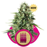 ROYAL AK - ROYAL QUEEN SEEDS - FEMMINIZZATA