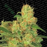 AUTO ACID * PARADISE SEEDS FEMINIZED