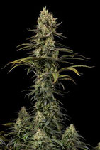 EARLY AMNESIA CBD * DINAFEM SEEDS