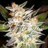 CHEESE CANDY AUTO * DELICIOUS SEEDS  FEM