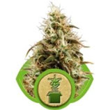 ROYAL JACK AUTOMATIC (JACK HERER AUTO) * ROYAL QUEEN SEEDS  AUTO