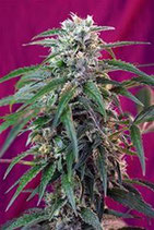 GREEN POISON AUTO * SWEET SEEDS FEMINIZED