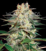 AFGHAN KUSH RYDER AUTO * WORLD OF SEEDS  FEM