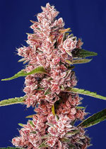 SWEET SEEDS TROPICANNA POISON F1 FAST VERSION® - THE RED FAMILY -