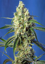 GREEN POISON CBD® * SWEET SEEDS FEMINIZED