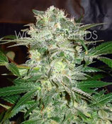 MAZAR KUSH * WORLD OF SEEDS FEM