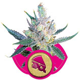 ROYAL CHEESE FAST VERSION - ROYAL QUEEN SEEDS - FEMMINIZZATA