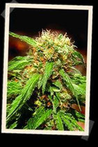 SWEET TAI * SWEET SEEDS FEMINIZED