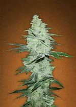 SIX SHOOTER * FAST BUDS SEEDS  FEM