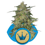 ROYAL MEDIC - ROYAL QUEEN SEEDS - FEMMINIZZATA