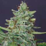 RED DIESEL * BARNEY'S FARM  FEM
