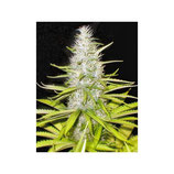 WHITE WIDOW MEDICAL SEEDS - FEMMINIZZATA