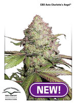 AUTO CBD CHARLOTTE'S ANGEL ® * DUTCH PASSION FEM