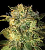 SUGAR MANGO RYDER AUTO * WORLD OF SEEDS  FEM