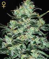 MOBY DICK * GREEN HOUSE FEMINIZED