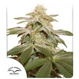 SUGAR BOMB PUNCH ® * DUTCH PASSION FEMINIZED