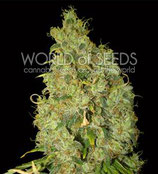 NORTHERN LIGHT X SKUNK * WORLD OF SEEDS FEM