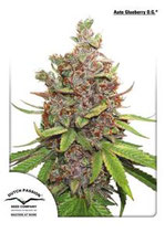 AUTO GLUEBERRY OG * DUTCH PASSION FEMINIZED