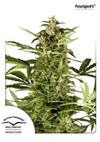 POLARLIGHT #3 ® AUTO* DUTCH PASSION FEMINIZED