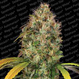 DUTCH KUSH FEMMINIZZATA  -PARADISE SEEDS- CANNABIS CUP WINNER 2016 - KUSH STRAINS