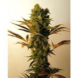 HAMMERSHARK * RESIN SEEDS FEMINIZED