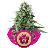 POWER FLOWER - ROYAL QUEEN SEEDS - FEMMINIZZATA