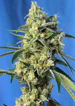 SWEET AMNESIA HAZE® * SWEET SEEDS FEMINIZED